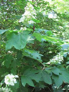 oak-leaf-hydrangeas-pruning.  Prune dead stems early spring