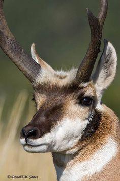 Antelope Hunting, Deer Ears, Sheep Tattoo, North American Animals, Big Horn Sheep, Mule Deer, Animal Games, Mountain Man, Wildlife Art