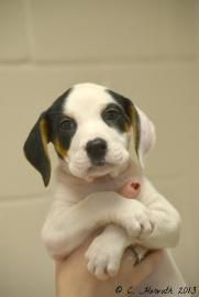 GEORGIA ~ meet Pearl ID 18794097 ~ an #adoptable spayed 2mo old #hound #puppy #dog in Madison. ~~ Interested in #adopting Pearl ? ~~   Call (706) 343-9977 to speak to an adoption representative at  Humane Society of Morgan County, Inc.  &/or Email them at  info@humanemorgan.org ~~ Located at HUMANE SOCIETY OF MORGAN COUNTY, INC.   1170 Fairground Road  Madison, GA 30650