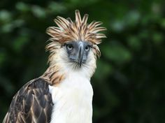 Photo about Philippine Eagle or the Monkey-eating Eagle is a very rare bird in the world. Image of captive, philippines, pithecophaga - 15923750 Crested Pigeon, Our National Bird, Philippines Cities, Philippine Eagle, Save Wildlife, List Of Animals, Rare Birds, Exotic Birds, Davao