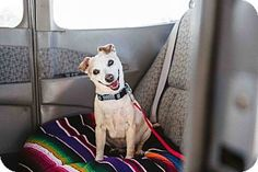Creston, CA - Jack Russell Terrier/Chihuahua Mix. Meet Mary, a dog for adoption. http://www.adoptapet.com/pet/14981855-creston-california-jack-russell-terrier-mix