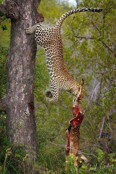 Foto: Amazing view  A superb drop catch of a dropped catch by this leopard. Image by Chad Cocking Wildlife Photography  Grandes felinos Incluye a las cuatro especies de felino en el género Panthera: el león (Panthera leo), tigre (Panthera tigris), leopardo (Panthera pardus) y el jaguar (Panthera onca). Los miembros de este género son los únicos capaces de rugir, y esto se considera como un elemento característico de los grandes felinos Todos los felinos son eficientes depredadores…