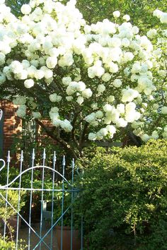 snowball viburnum, I think Moon Garden, Blue Garden, Dream Garden, Back Gardens, Small Gardens, Outdoor Gardens, Outdoor Rooms, Chinese Plants, Cottage Exterior
