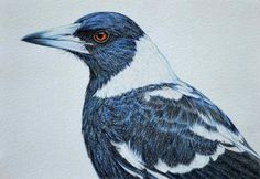 A gallery of all the Birdland Series pastel drawings by artist Rachel Newling, portraits of Australian birds. Australian Birds, Australian Artists, Owl Bird, Bird Art, Magpie Tattoo, Bird Drawings, Pencil Drawings, Pastel Drawing, Wildlife Art