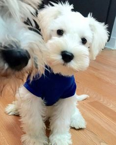 Choose your Schnauzer or hoodie now⏩Check the link in @schnauzerworld profile! International shipping! ️ To be featured ⏩Follow us ⏩Choose your best photo ⏩Tag us #schnauzerworld Reposted from: @pringle_puppies