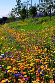 London Olympic Park: wildflower meadow in orange, yellow and blue Beautiful Landscapes, Beautiful Gardens, Beautiful Flowers, Wild Flower Meadow, Wild Flowers, London Olympic Park, Coastal Gardens, Exotic Plants, Parcs
