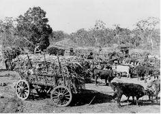 Sugarcane waiting to be loaded onto a train at Walligan Siding, Pialba Line, 1924.