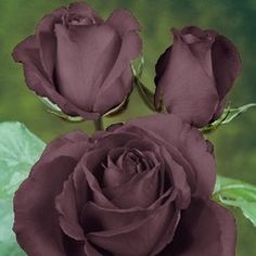 A very close to black rose - what a dream - Black Baccara