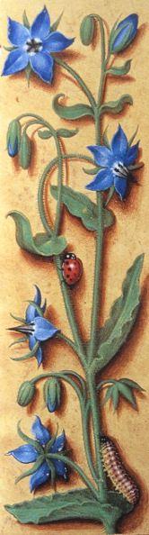 Borretsch http://www.natura-naturans.de/artikel/artikel.htm
