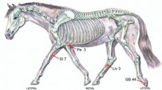Acupoints That Help Relieve Fear – Equine Acupressure