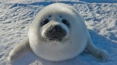 Cute Baby Seal Responds to Shell Oil Drilling (NSFW)