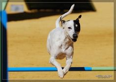 Web Oficial del Club Nacional del Perro Ratonero-Bodeguero Andaluz
