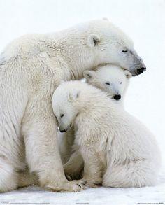 #ours polaire  (2011-05) Polar bear family  photographe inconnu