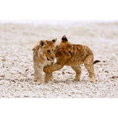 Africa Two lion cubs play fighting on the Etosha Pan Canvas Art - David Slater DanitaDelimont (17 x 11)