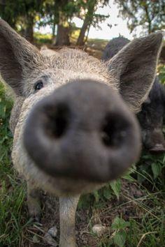 Am Biohof Ziegerhofer Rind, Animals, Free Range, Animales, Animaux, Animal, Animais