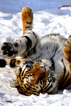 Tiger Rolling in the Snow ~ by: Josef Gelernter - Tiere - Animais Pretty Cats, Beautiful Cats, Animals Beautiful, Pretty Kitty, Tiger Pictures, Animal Pictures, Big Cats, Cute Cats, Animals And Pets