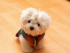 ♥ schattige puppy maltese♥ wallpaper