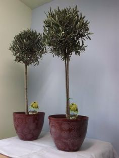 Pair of olive trees Gift option 90-100cm (3ft) tall Shaped perfect plants+ decorative pots by Best4garden,.