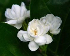 Jasminum sambac or Arabian Jasmine is a weak stemmed, evergreen climber with fragrant, white flowers and pink buds in spring and summer.