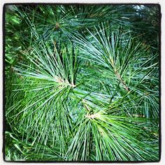 White Pine Love