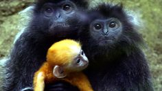 A 1-month-old baby silver langur is carried by his mother at the Taman Safari park in Bogor, West Java.