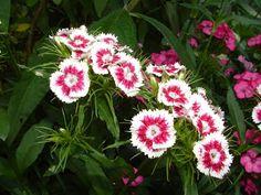 Beautiful Sweet Williams from my Garden in Kent, UK