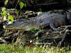 Louisiana gator wrastlin