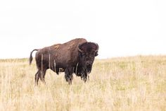 Woman gored after approaching bison in Yellowstone National Park 😯