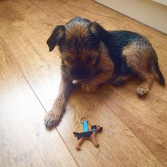 Look at good boy Monty! with his new www.etsy.com/shop/MisHelenEous border terrier blue & tan keyring