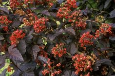 Ninebark (Physocarpus opulifolius) is a tough shrub that can handle myriad growing conditions. Learn how to add it to your landscape. Drought Tolerant Shrubs, Planting Shrubs, Flowering Shrubs, Trees And Shrubs, Easy Plants To Grow, All Plants, Growing Plants, Garden Plants, Potted Plants