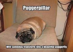 Chubby Puggerpillar