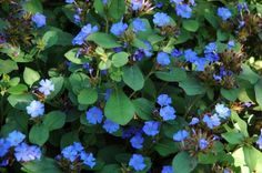 Plumbago, Leadwort (Ceratostigma plumbaginoides.  Beautiful groundcover with bright blue flowers in late Summer and gorgeous scarlet and maroon foliage in the Fall.  One of  my most favorite plants for the garden.