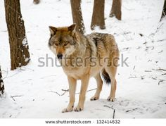 Find wolf body stock images in HD and millions of other royalty-free stock photos, illustrations and vectors in the Shutterstock collection. Thousands of new, high-quality pictures added every day. Body Image, Royalty Free Stock Photos, Wolf, Illustration, Pictures, Photography, Animals, Fotografie, Animais