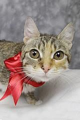 Petango.com – Meet Kelly, a 2 years 5 months Domestic Shorthair / Mix available for adoption in LOUISVILLE, KY