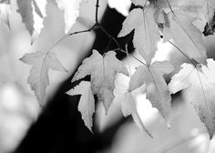 Black and white photography, nature / Leaves and Light, 12 x 8 print