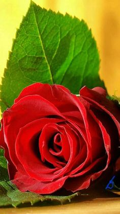 Red Flower Pictures, Beautiful Flowers Pictures, Beautiful Flowers Wallpapers, Beautiful Rose Flowers, Beautiful Flower Arrangements, Amazing Flowers, Red Flowers, Red Roses, Corporate Flowers