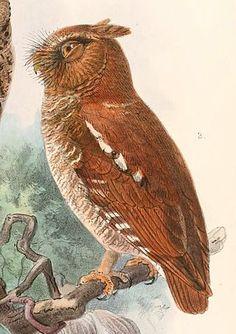 Mauritius Scops Owl | Mauritiu...