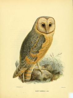 https://flic.kr/p/a7BGK3 | n112_w1150 | Ornithological miscellany V.1 London :Trübner and Co., Bernard Quaritch, R.H. Porter,1876-1878. biodiversitylibrary.org/page/35042475