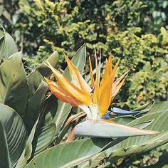 "How to grow ""Bird-of-Paradise"""
