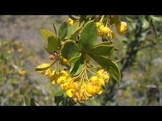 El Agracejo: Berberis vulgaris (http://riomoros.blogspot.com.es)