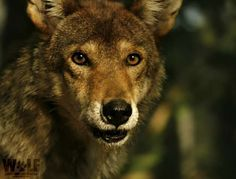 Dit is rode wolf M1566.