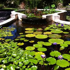 Lily Pond at The Kampong in Coconut Grove FL - only mainland US tropical botanical garden
