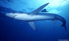 blue shark - Yahoo! Search Results