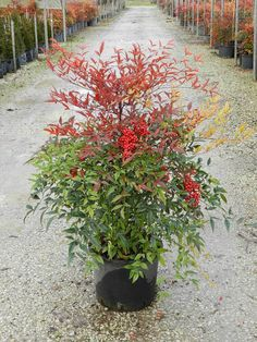 Nandina domestica (Sacred Bamboo) - for the 4 pots that boarder the bridge over the pond.
