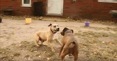 Как вы думаете, что произойдет, если встретятся две бывшие боевые собаки?  Несмотря на то, что в прошлой жизни они были вынуждена сражаться с другими собаками и подвергались жестокому обращению со стороны людей, Вито и Мэгги - два привлекательных питбуля.    Бое
