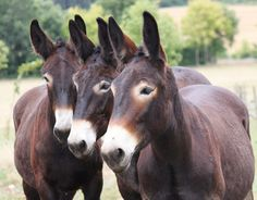 Their faces just melt my heart. It's a mule thing!