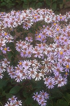 Aster macrophyllus Big Leaf Aster  Sun:Partial,Shade  Moisture:Dry,Medium   Height:1'-2'   Bloom: White Aug-Sep  Big Leaf Aster (Aster macrophyllus) is the perfect plant for shady areas with less than perfect soil. Drought tolerant, it thrives in both dry sand and heavy clay soils that possess a modicum of organic matter. Spreads by rhizomes to form a groundcover. Great for stabilizing shaded hillsides and slopes. Hardy to Zones 3 - 7.