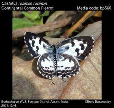 Continental Common Pierrot