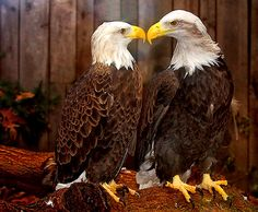 Eagles mate for life