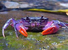 Prince Crab from Palawan in the  Phillipines